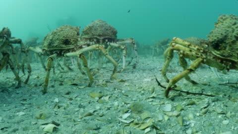 underwater spider crab migration - sea life stock videos & royalty-free footage