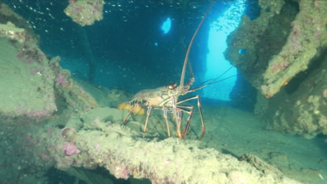 underwater, spiny lobster, ogasawara, japan - lobster stock videos & royalty-free footage