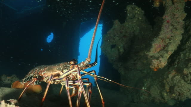 underwater, cu, spiny lobster, ogasawara, japan - lobster stock videos & royalty-free footage