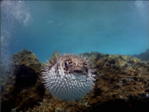 underwater spiny pufferfish/porcupinefish looking at camera - balloonfish stock videos and b-roll footage
