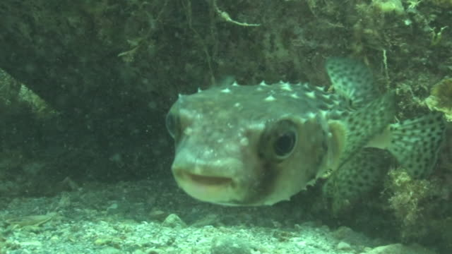 underwater, spotfin burrfish, kozushima, japan - puffer fish stock videos & royalty-free footage