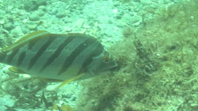 stockvideo's en b-roll-footage met underwater, spottedtail morwong, kozushima, japan - kokerworm
