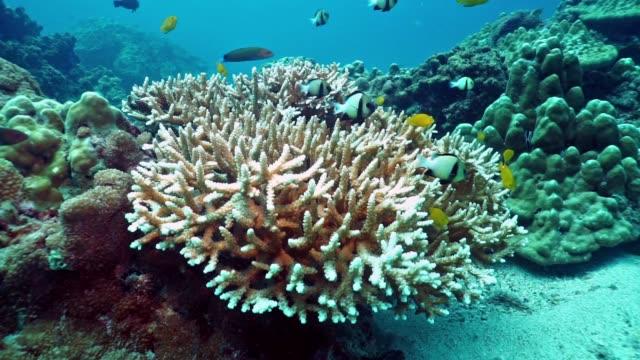 vídeos de stock, filmes e b-roll de subaquática staghorn (hexacorais) coral branqueamento - acidificação dos oceanos