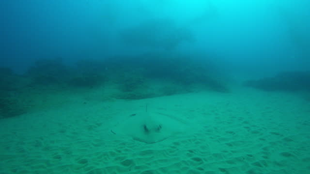 underwater ms stingray buried in sand with small fish swimming above it - 隠れる点の映像素材/bロール