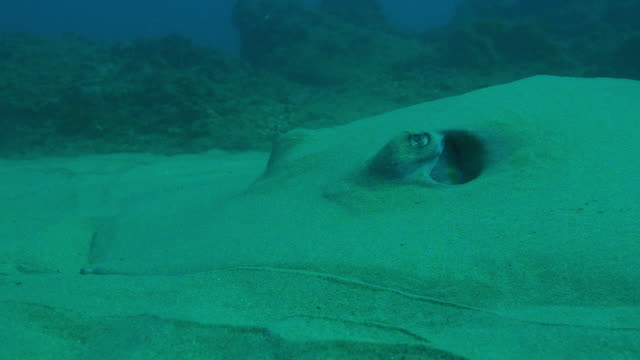vidéos et rushes de underwater cu stingray buried in sand with spiracle action - himantura poisson