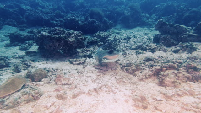 underwater stingray swimming over coral reef - stingray stock videos & royalty-free footage