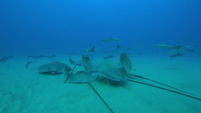 underwater stingrays on seabed with cobia fish and bottlenosed dolphins following - stingray stock videos and b-roll footage