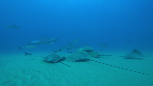 underwater stingrays on seabed with one riding on larger small eyed stingray and cobia fish around them - stechrochen stock-videos und b-roll-filmmaterial