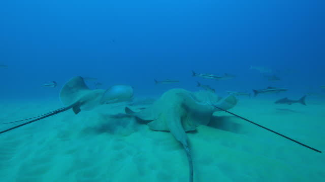 underwater stingrays on seabed with one riding on larger small eyed stingray and cobia fish and bottlenosed dolphins following - stechrochen stock-videos und b-roll-filmmaterial