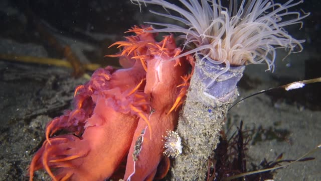underwater: stunning rainbow sea slug and tube anemone on seabed - nudibranch stock videos & royalty-free footage