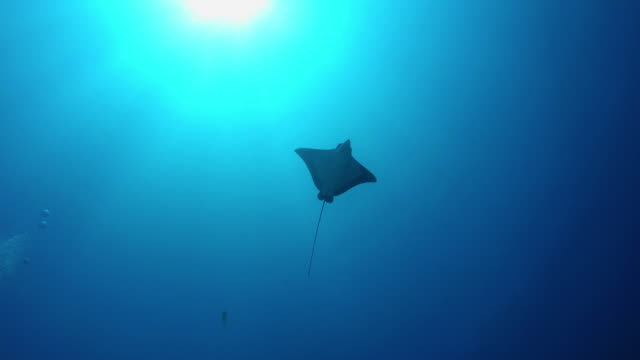 underwater sun and swimming eagle ray - eagle ray stock videos and b-roll footage
