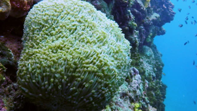vídeos de stock e filmes b-roll de underwater sunflower coral (alveopora spongiosa) - acidificação dos oceanos