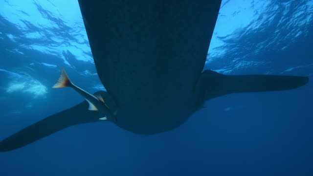 Underwater CU PAN then track underneath Whale Shark swimming from camera just below surface with Remoras