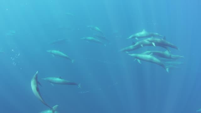 vídeos de stock e filmes b-roll de underwater ha pan through large group of spinner dolphins swimming past camera - golfinho pintado pantropical