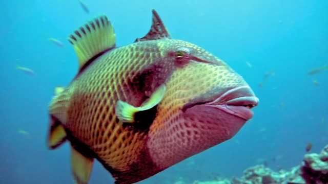 underwater titan triggerfish (balistoides viridescens) defending territory - chewing stock videos & royalty-free footage