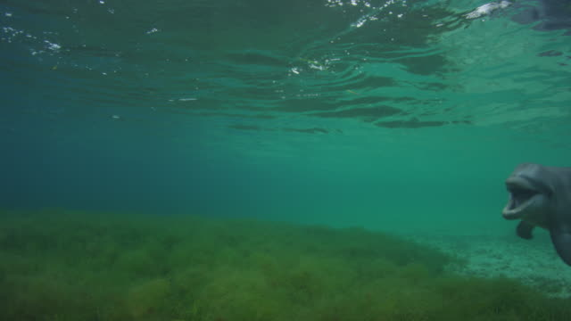 underwater pan to reveal bottlenosed dolphin swimming to camera and mouthing - sea grass plant点の映像素材/bロール
