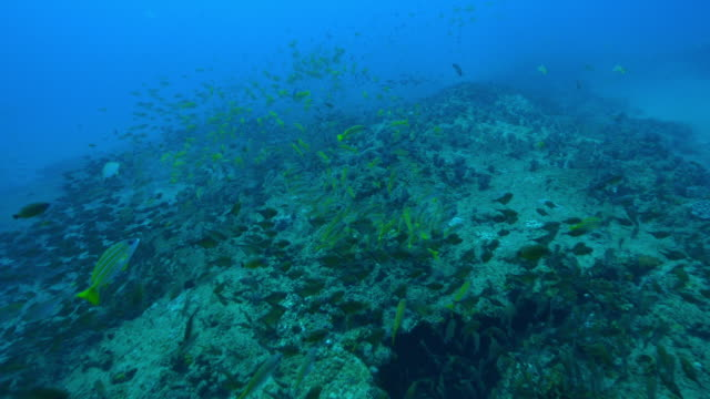 underwater ha track along reef with large shoals of fish floating above it - triglia tropicale video stock e b–roll