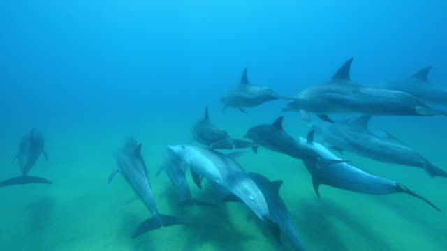 underwater track alongside group of bottlenosed dolphins swimming across seabed with 1 on its back - grey colour stock videos & royalty-free footage