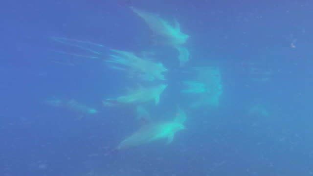 underwater track alongside then behind bottlenosed dolphins swimming in open sea with surface reflection - バンドウイルカ点の映像素材/bロール