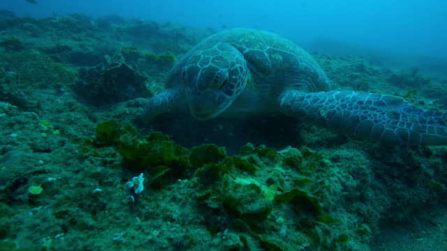 Underwater track around Green Turtle eating seaweed on coral reef