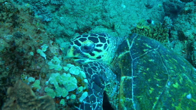 Underwater HA CU track around Hawksbill Turtle eating coral