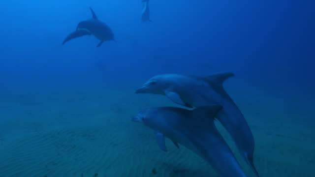 Underwater track behind 2 Bottlenosed dolphins swimming fast and playing