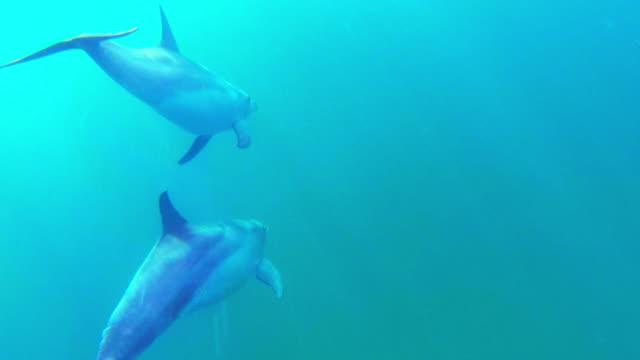 underwater track behind 2 bottlenosed dolphins swimming in open sea  - shark bay stock videos & royalty-free footage