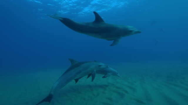 underwater track behind bottlenosed dolphin calf swimming and playing in group - cetaceo video stock e b–roll