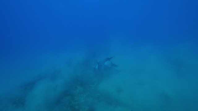 vídeos de stock e filmes b-roll de underwater track behind bottlenosed dolphin group playing near seabed and pushing up sand  - cinco animais