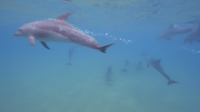 underwater track behind bottlenosed dolphin group swimming close to seabed with young calf swimming fast across frame - バンドウイルカ点の映像素材/bロール