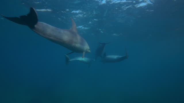 underwater track behind bottlenosed dolphin group swimming close to surface - cetaceo video stock e b–roll