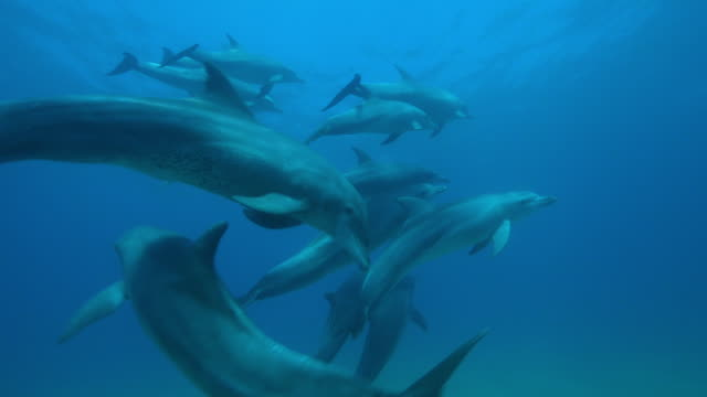 Underwater track behind Bottlenosed dolphin group swimming fast and playing together