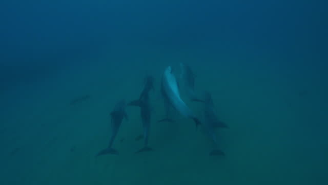 underwater track ha behind bottlenosed dolphin group swimming fast over seabed including upside down - cetacea stock videos & royalty-free footage