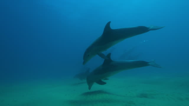 underwater track behind bottlenosed dolphin group swimming over seabed and one stops to hunt - tursiope video stock e b–roll