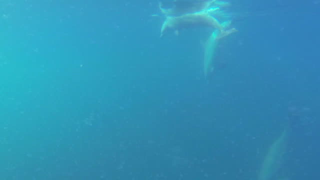 vidéos et rushes de underwater track behind bottlenosed dolphin group taking a breath then diving in open sea  - cétacé