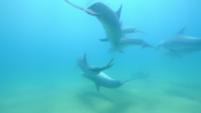 underwater track behind bottlenosed dolphin group with seaweed over tail of one - seaweed stock videos & royalty-free footage