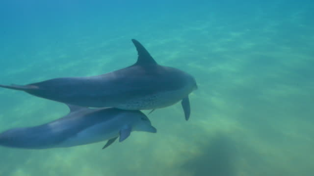 vídeos de stock e filmes b-roll de underwater track behind bottlenosed dolphin mother with calf swimming below her   - roaz