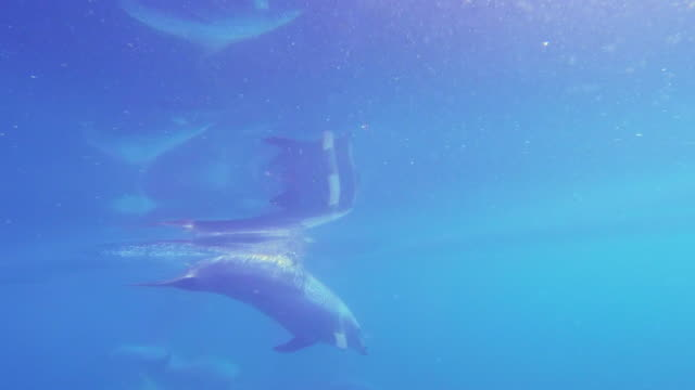 underwater track behind bottlenosed dolphin swimming in open sea then surfacing to take a breath with surface reflection - medium group of animals stock videos & royalty-free footage