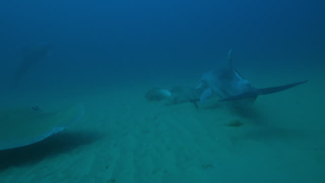 underwater track behind bottlenosed dolphin swimming very close above 2 stingrays on the seabed - dolphin stock videos & royalty-free footage