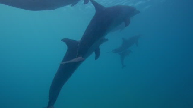 underwater cu track behind bottlenosed dolphins and calf swimming in shallow sea  - cetaceo video stock e b–roll