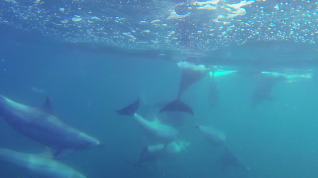 vidéos et rushes de underwater track behind bottlenosed dolphins swimming in open sea  - grand dauphin