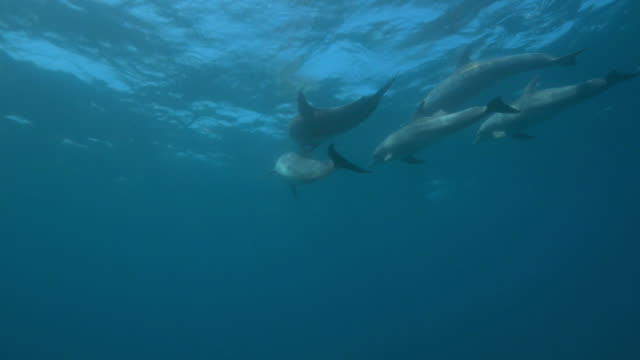 underwater track behind bottlenosed dolphins with calf swimming below surface   - cetaceo video stock e b–roll