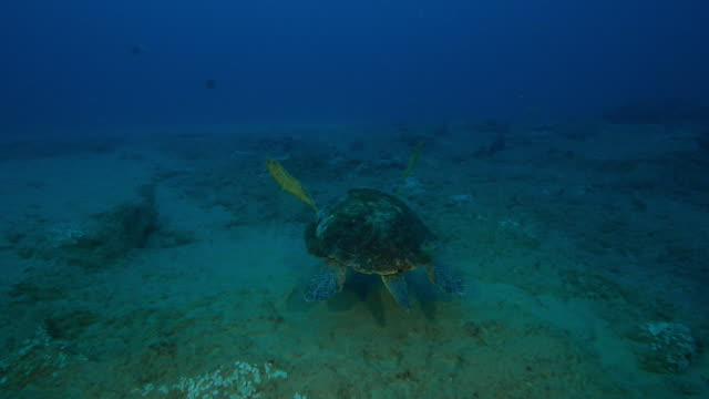 Underwater track behind Hawksbill Turtle swimming over reef and feeding