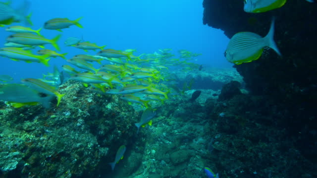 underwater track behind shoal of yellow goatfish and others floating in current on coral reef - goatfish stock videos & royalty-free footage