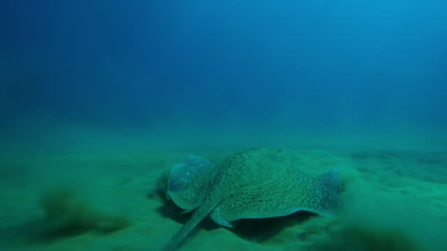 underwater cu track behind spiny stingray swimming over seabed - stingray stock videos and b-roll footage