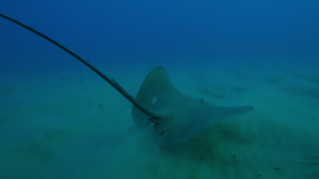 underwater track behind stingray swimming over seabed with angel fish riding on it - stingray stock videos and b-roll footage