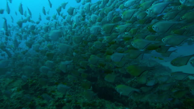Underwater track over coral reef with swirling shoals of Hatchetfish and others swimming above it close to camera
