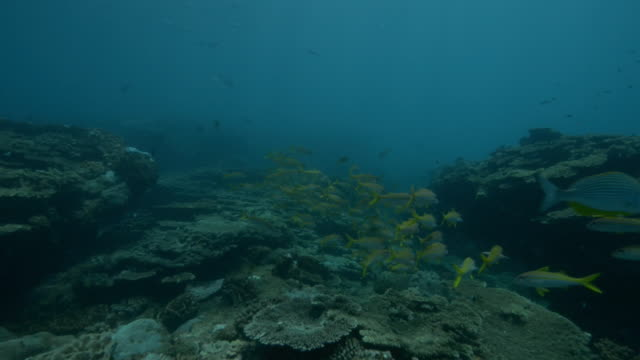 underwater track over reef with shoal of yellow goatfish and others - seabed stock videos & royalty-free footage