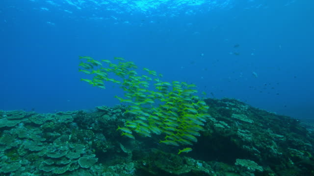 underwater track over reef with shoal of yellow goatfish and others - 40 o più secondi video stock e b–roll