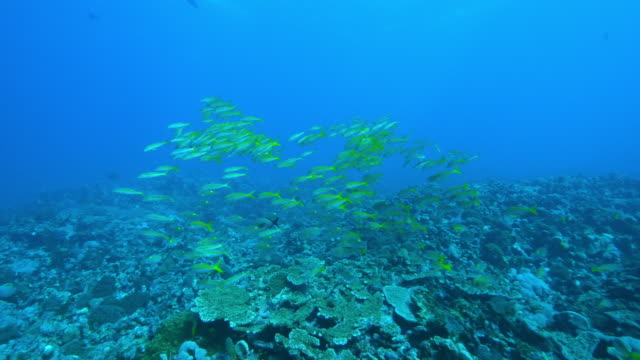 underwater track over reef with shoal of yellow goatfish and others - triglia tropicale video stock e b–roll
